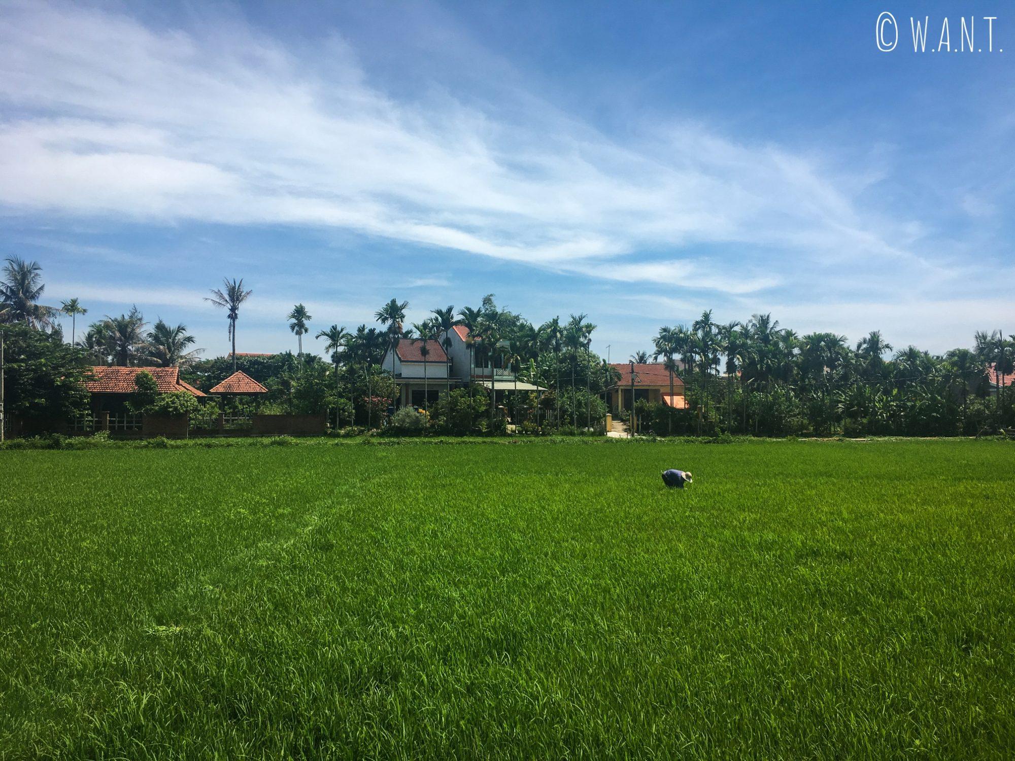 Paysage de rizières autour de notre homestay située à Cam Thanh