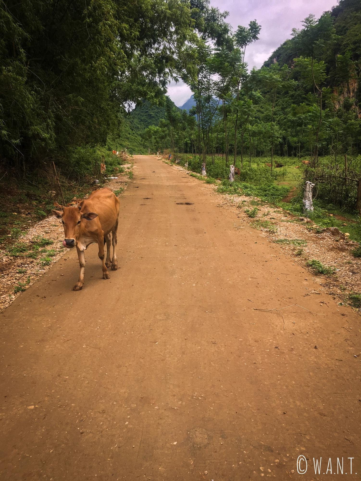 Rencontre avec une vache sur les chemins de Mai Chau