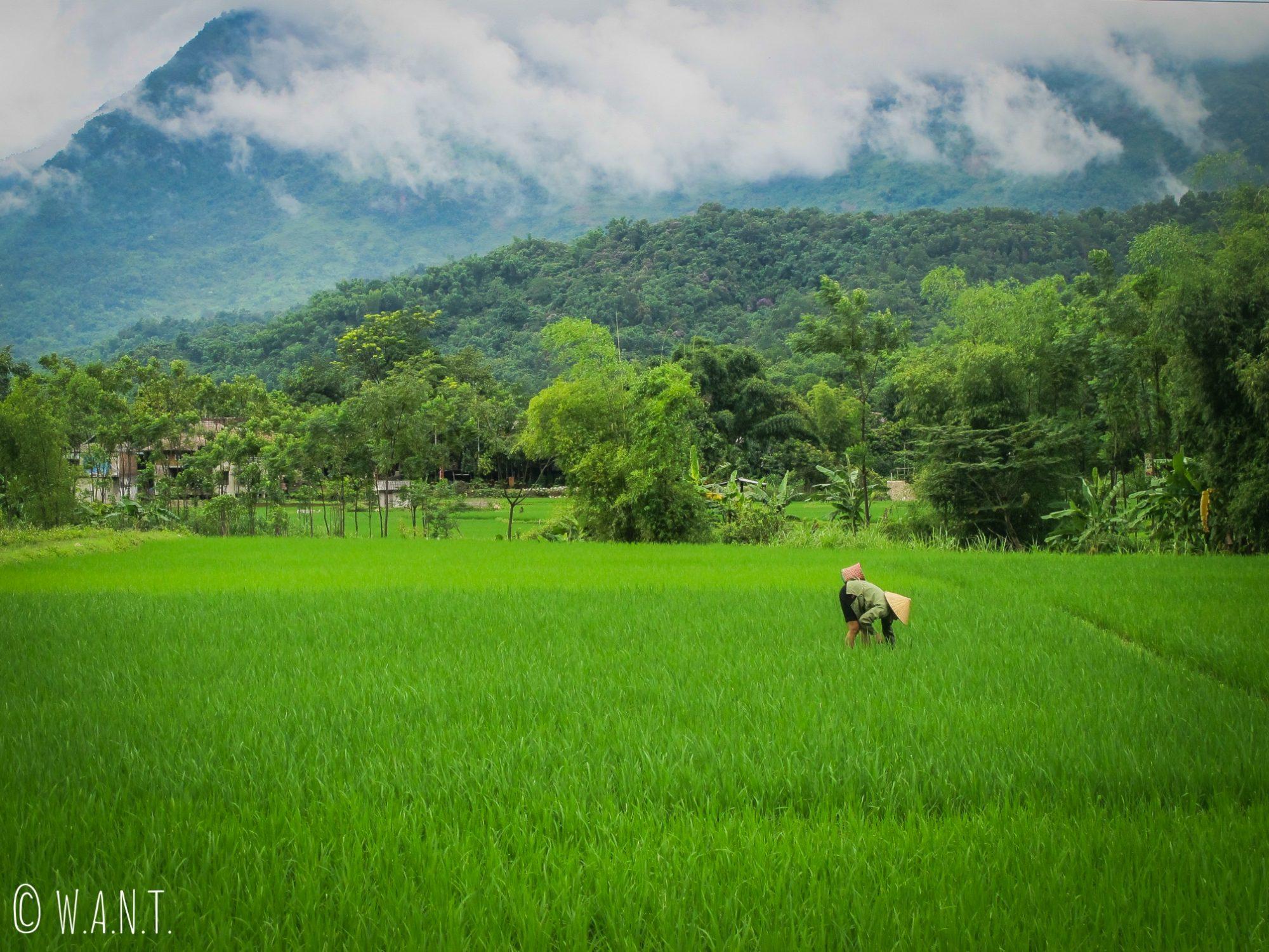 Rizicultrice à Mai Chau