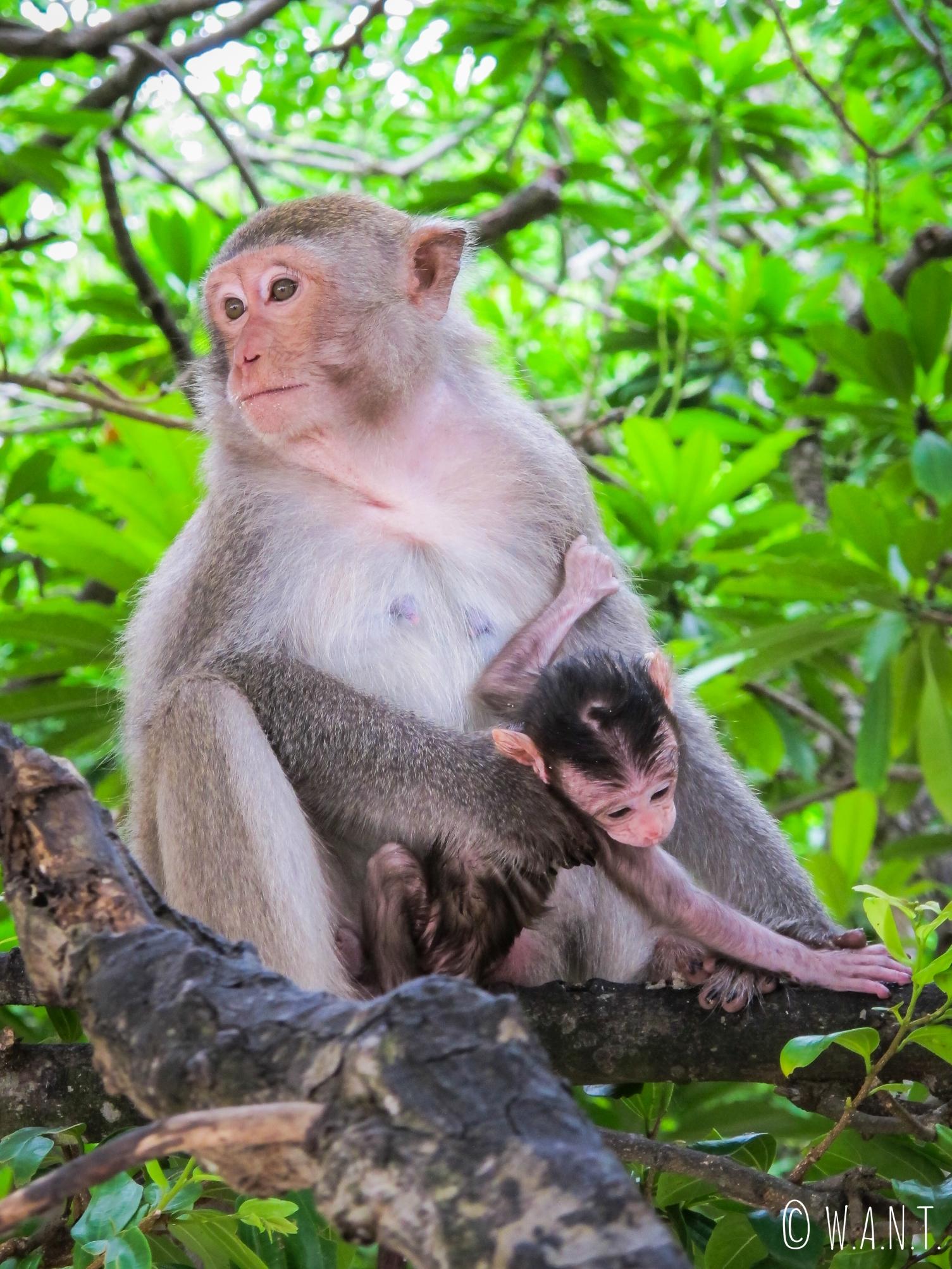 Singe et son bébé sur l'île de Monkey Island au large de Cat Ba