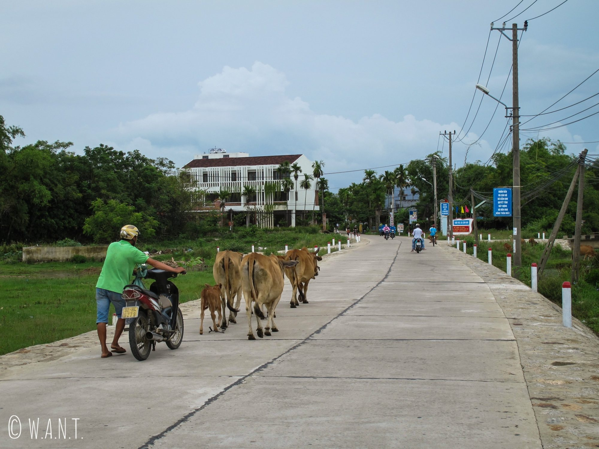 Vaches sur l'axe principal menant de Hoi An à l'île de Cam Kim