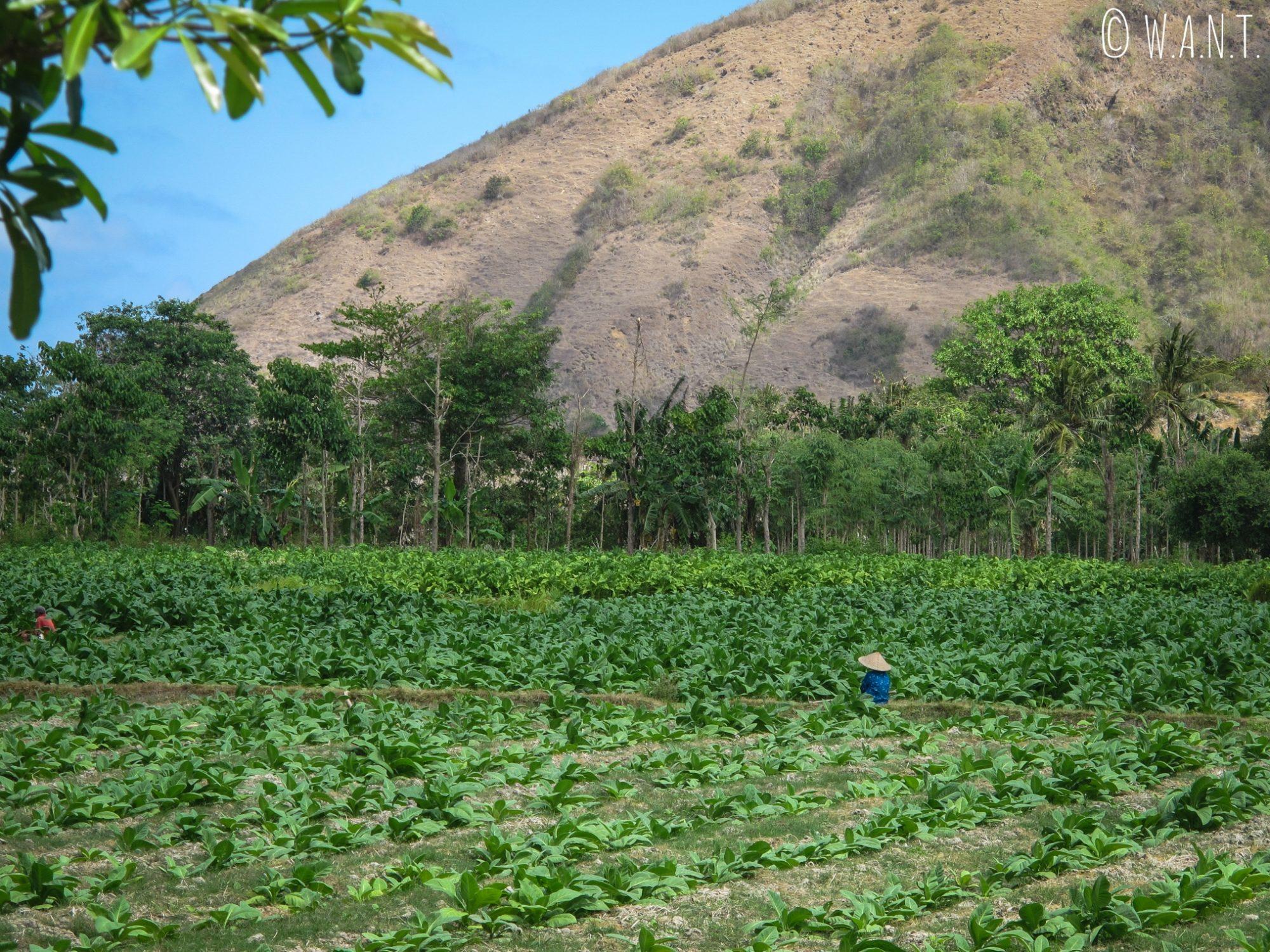 Cultures dans les terres de Kuta Lombok