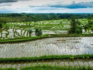 Cultures en terrasses à Jatiluwih sur Bali