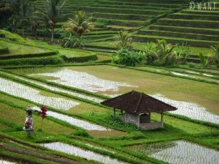 Les rizières de Jatiluwih à Bali sont classées au patrimoine mondial de l'UNESCO