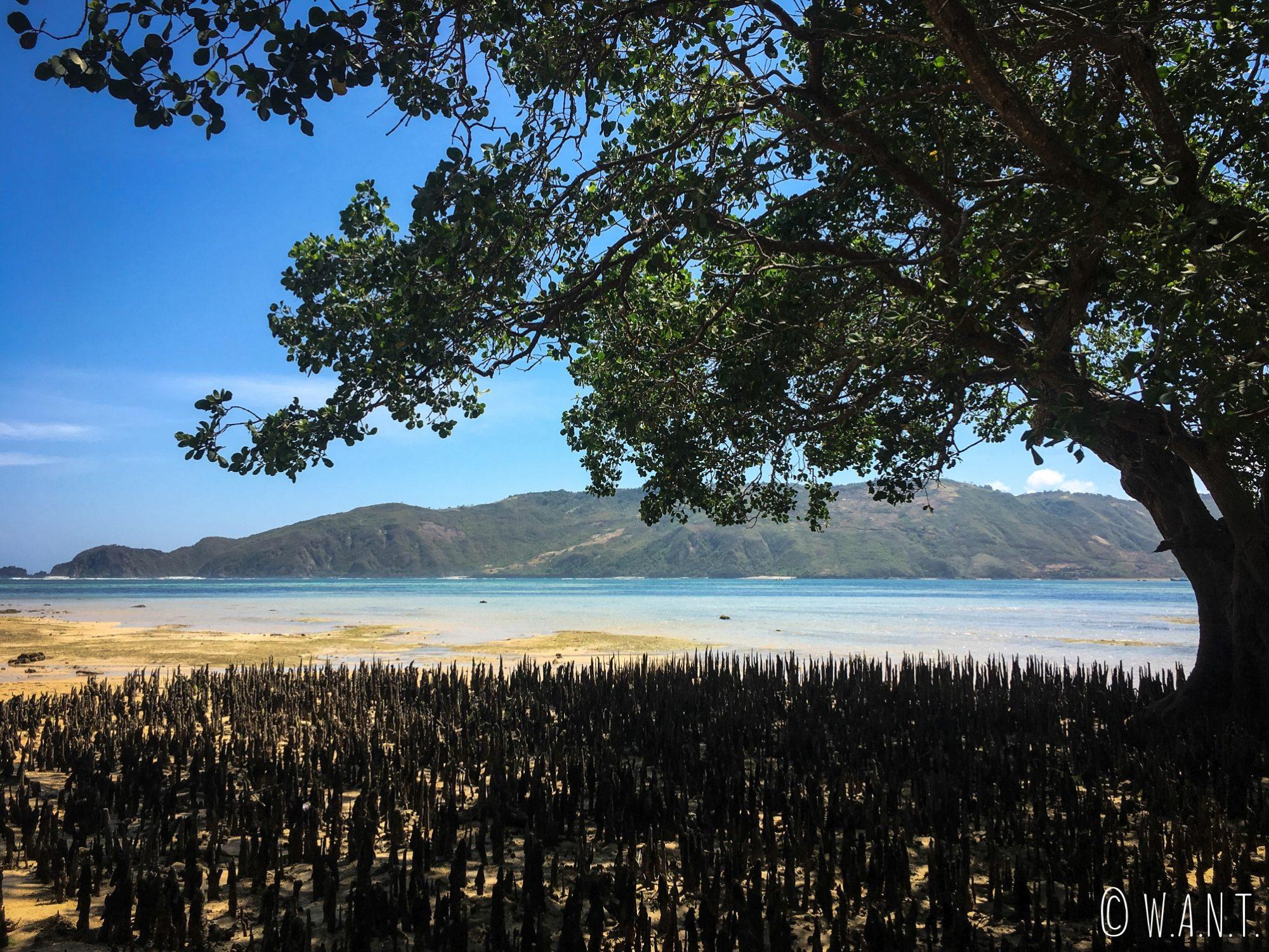 Mangrove sur la plage de Kuta Lombok
