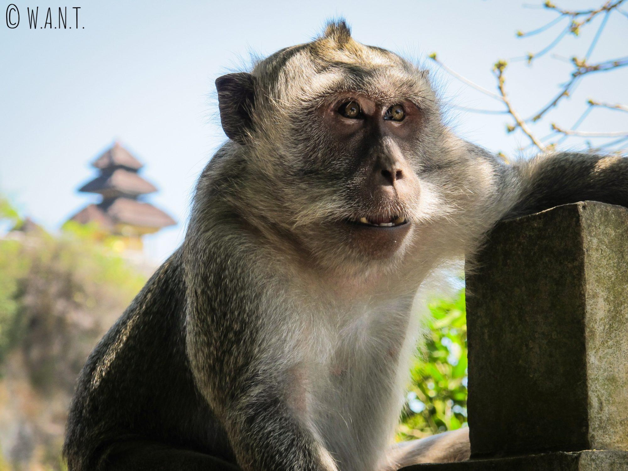 Singe au temple de Uluwatu à Bali