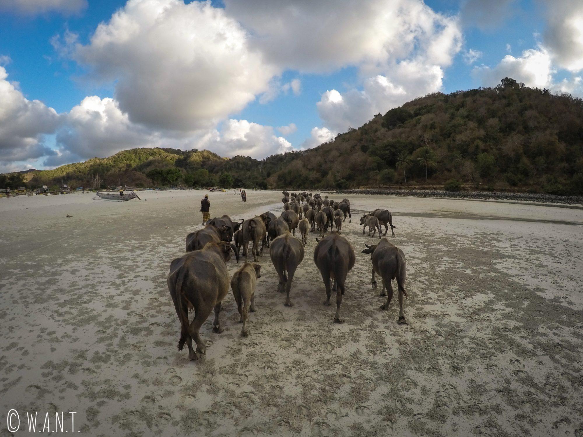 Troupeau de buffles sur la plage de Selong Belanak à Lombok