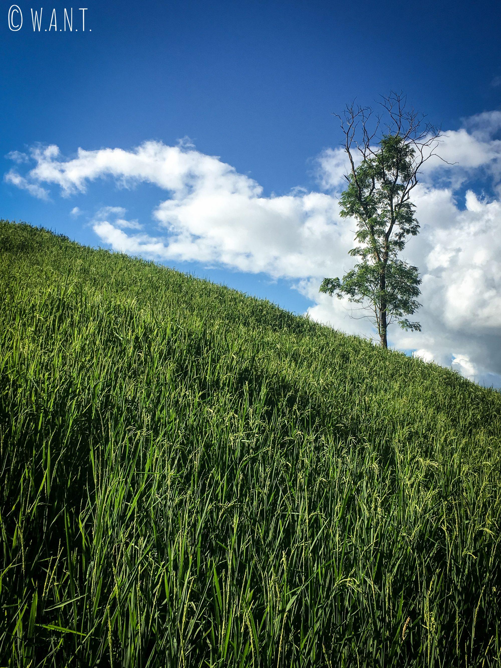 Arbre au milieu des rizières pendant notre trek à Chiang Rai
