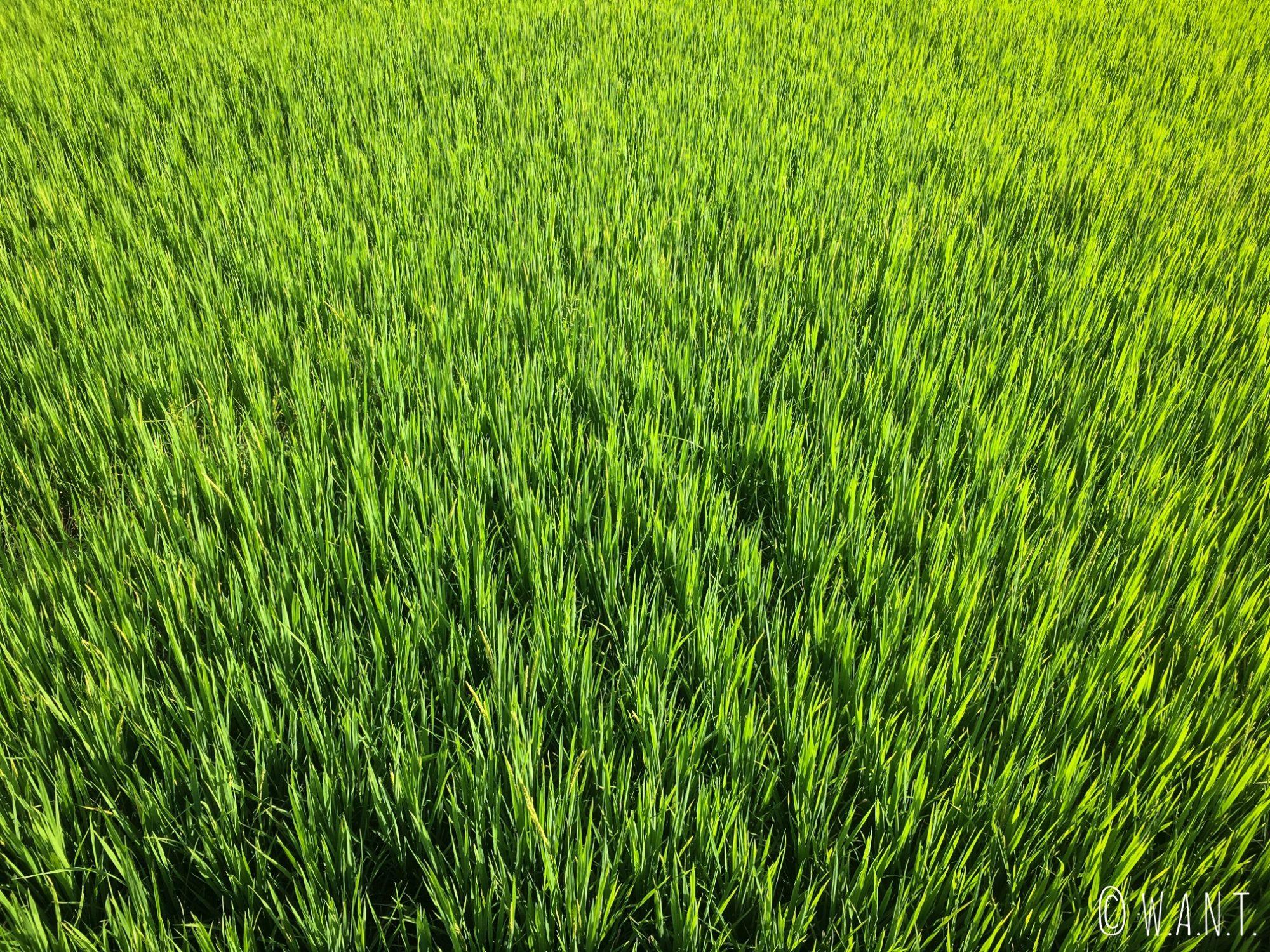 Gros plan sur les rizières entourant le Bambou Bridge de Pai