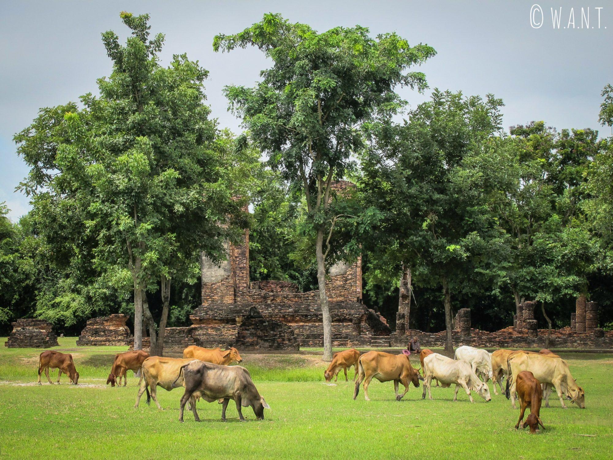 Les vaches paissent dans le parc historique de Sukhothai
