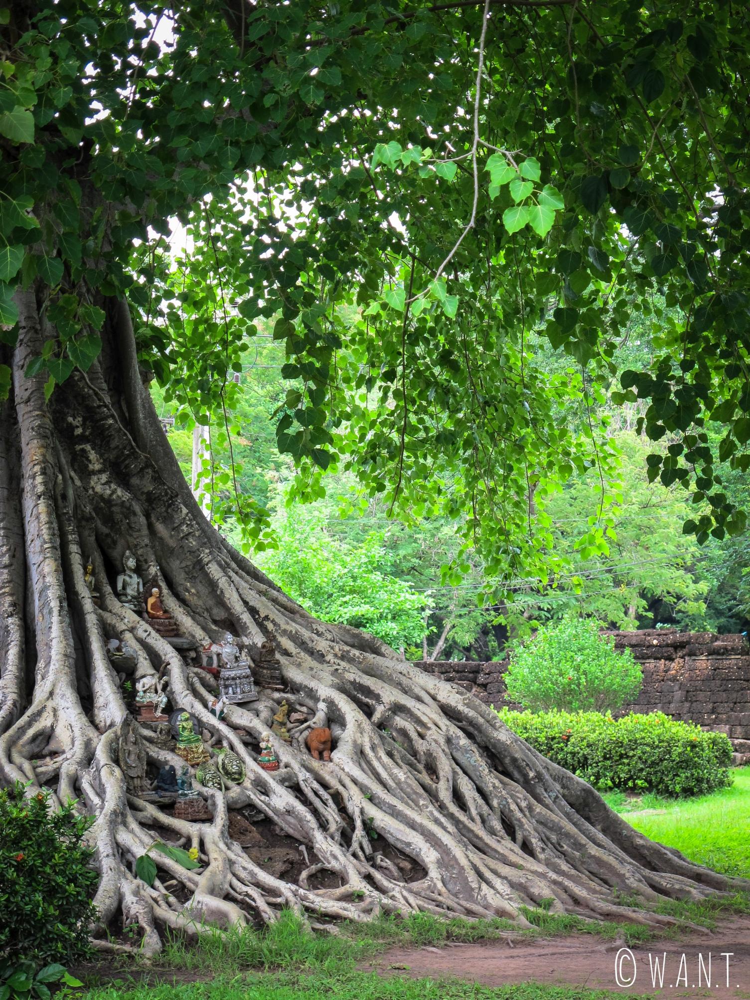 Racines ornées d'offrandes dans le parc historique de Sukhothai