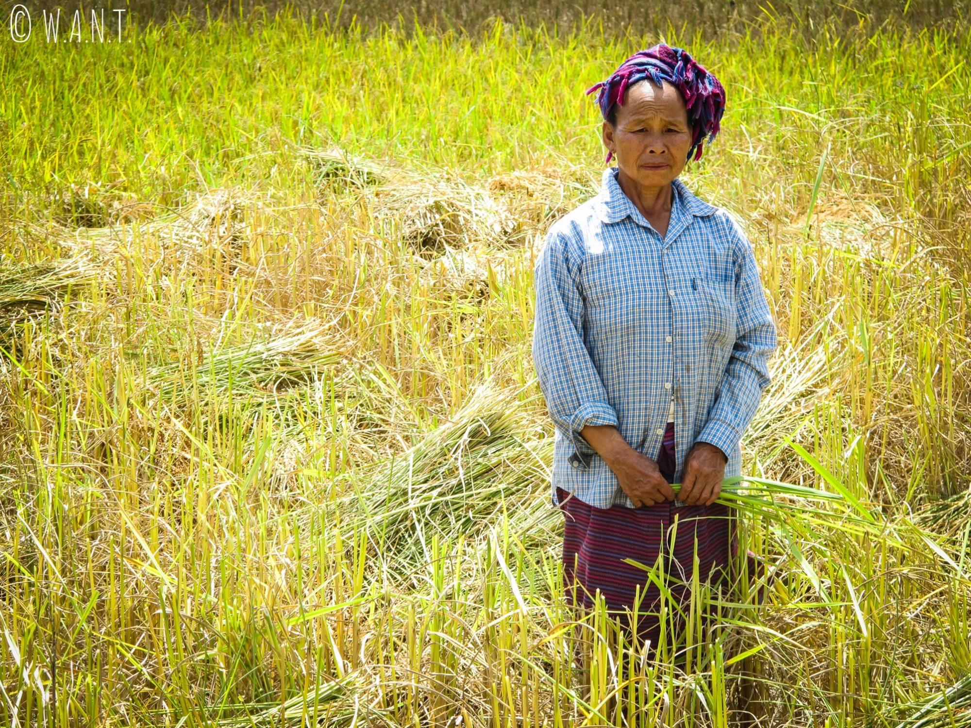 Agricultrice dans les rizières de Muang Ngoi