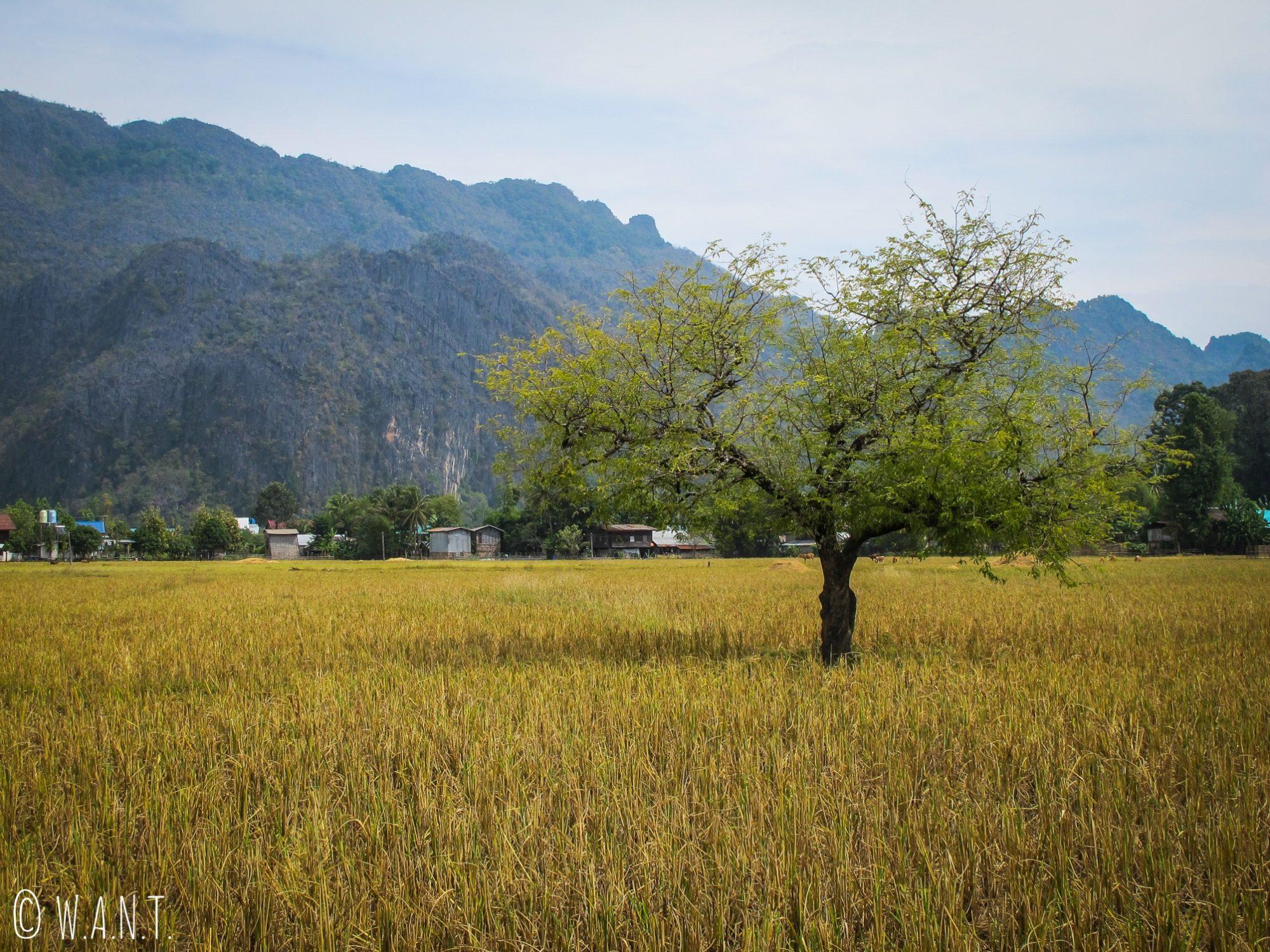 Arbre au milieu des rizières du village de Konglor