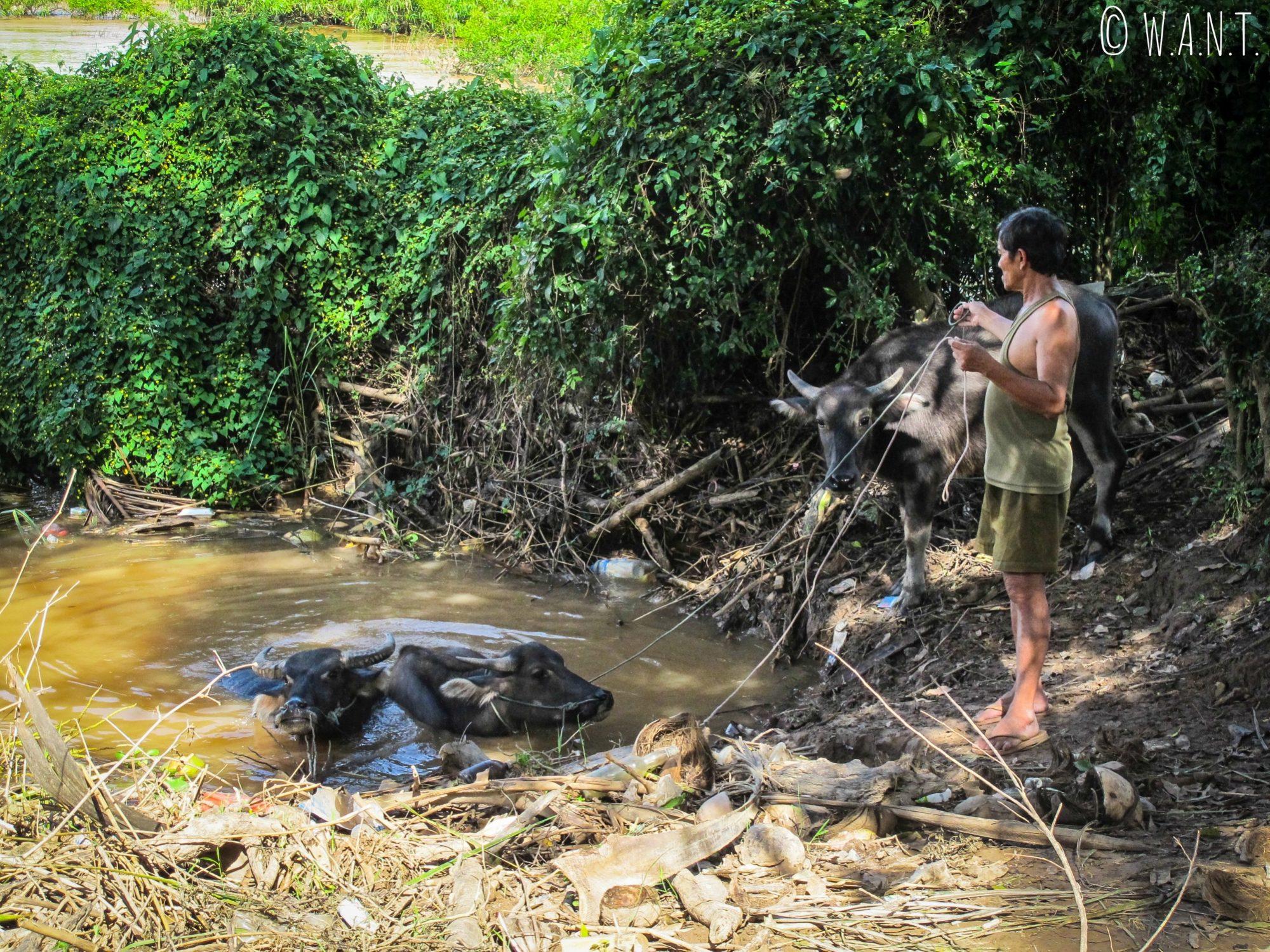 Bain des buffles d'eau sur l'île de Don Khon