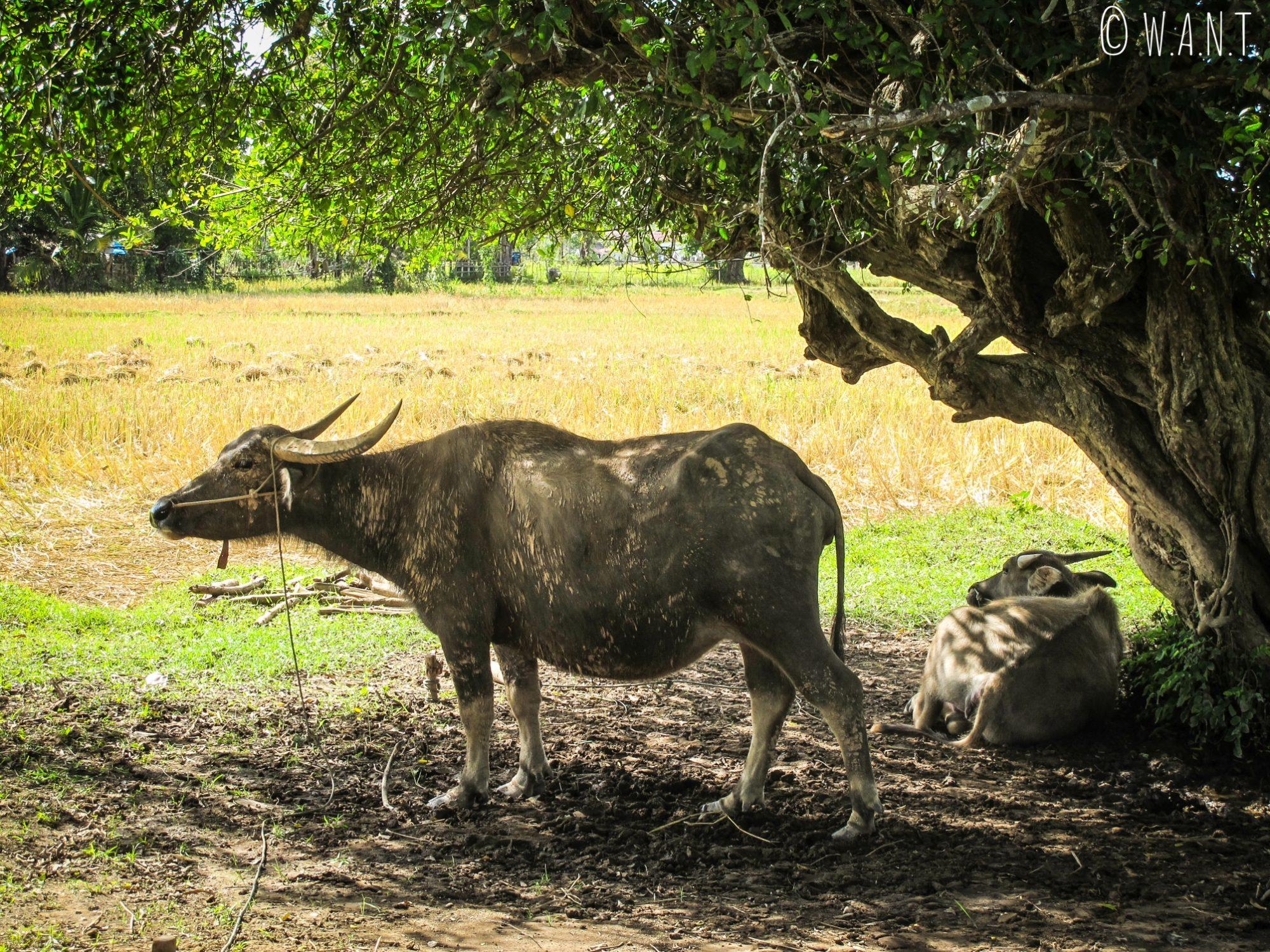 Buffles d'eau rencontrés sur l'île de Don Khon