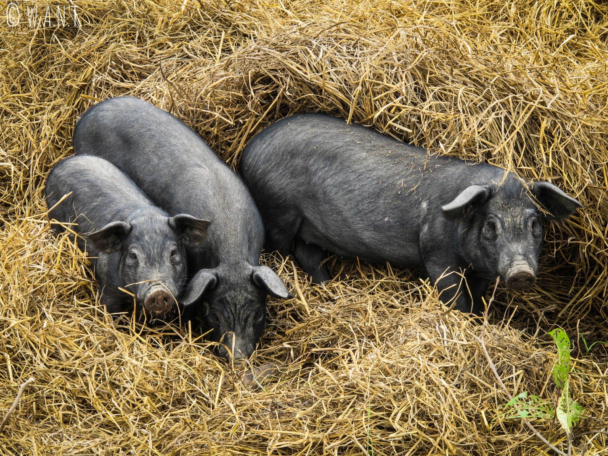 Cochons dans le foin sur la route de Konglor à Nahin