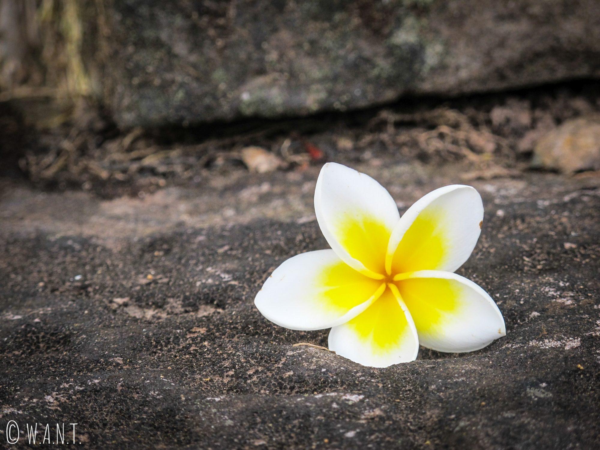 Fleur de frangipanier sur le site Unesco de Vat Phou
