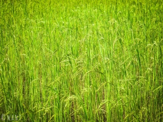 Gros plan sur les rizières de l'île de Don Khon