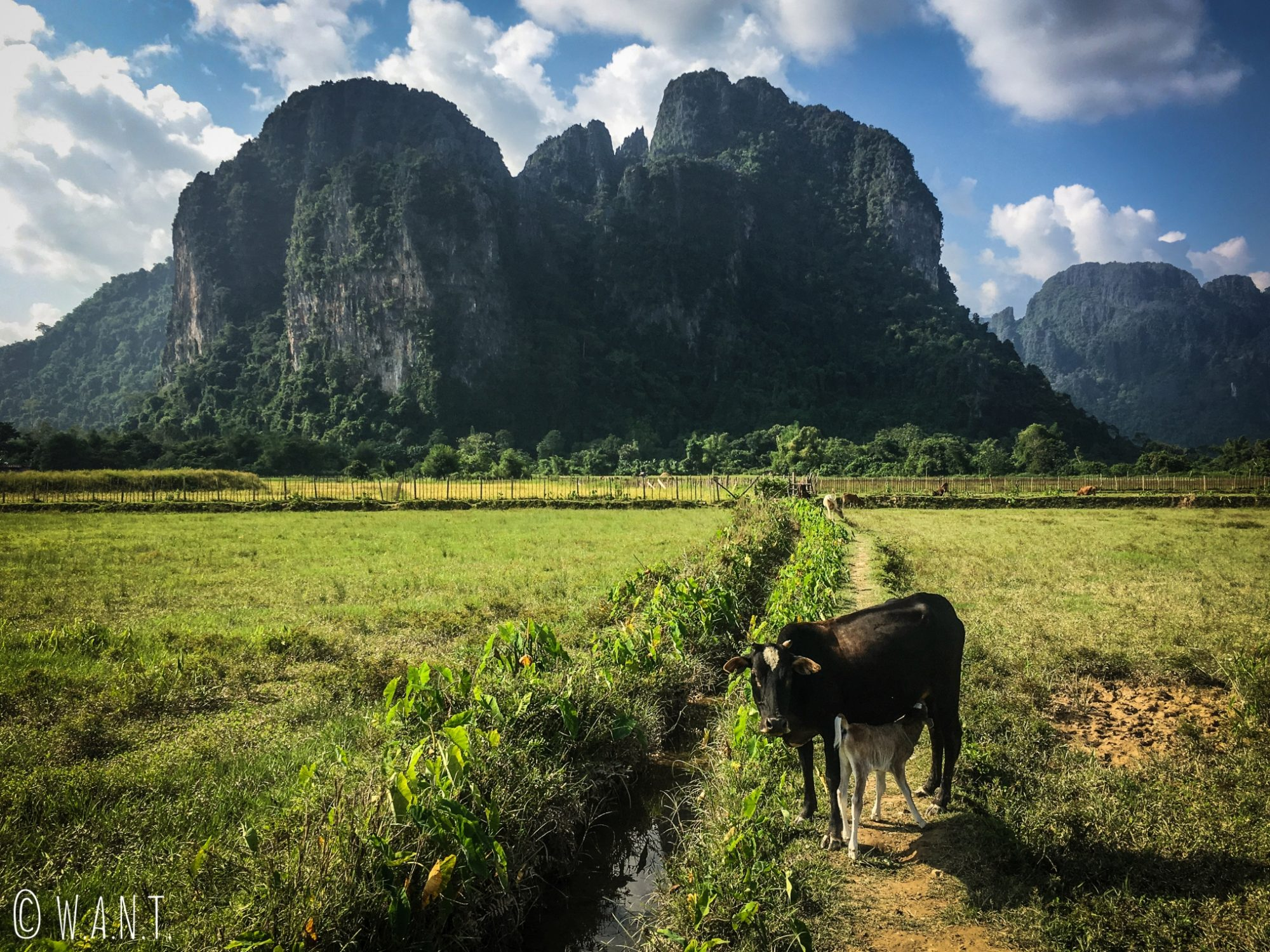 Vache sur le chemin de randonnée à Vang Vieng
