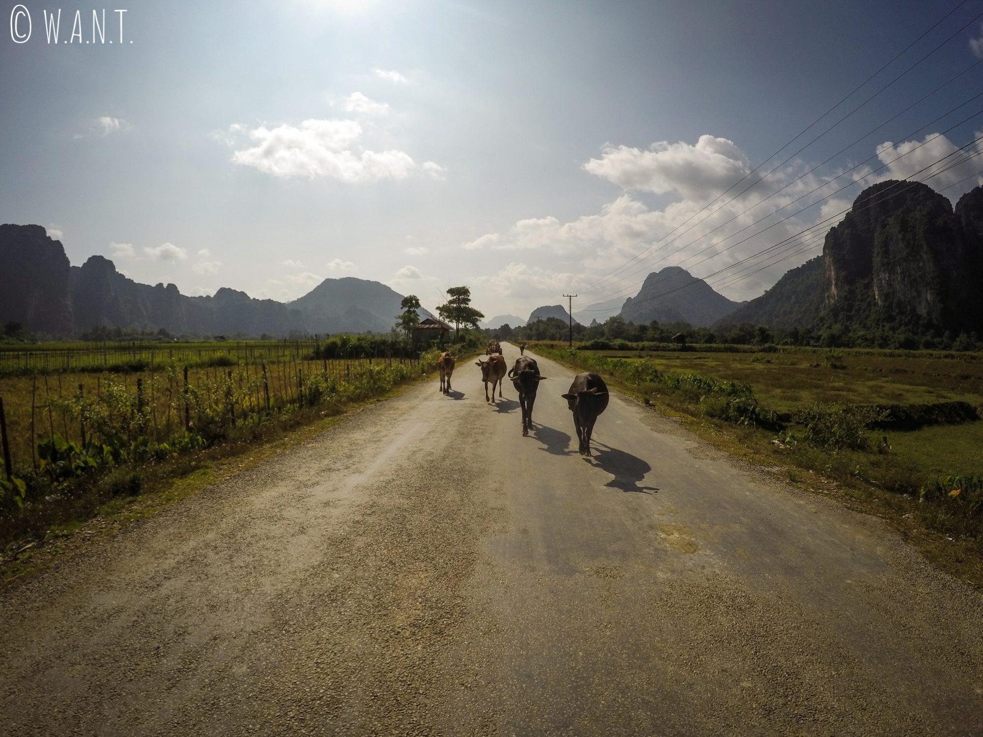 Vaches se promenant sur la route en direction de Vang Vieng