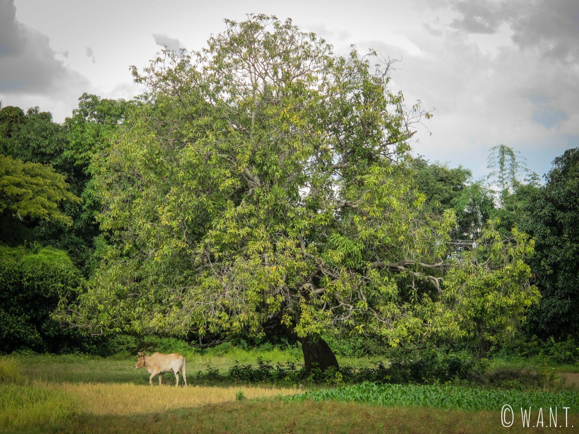 Arbre et vache sur l'île de Koh Trong