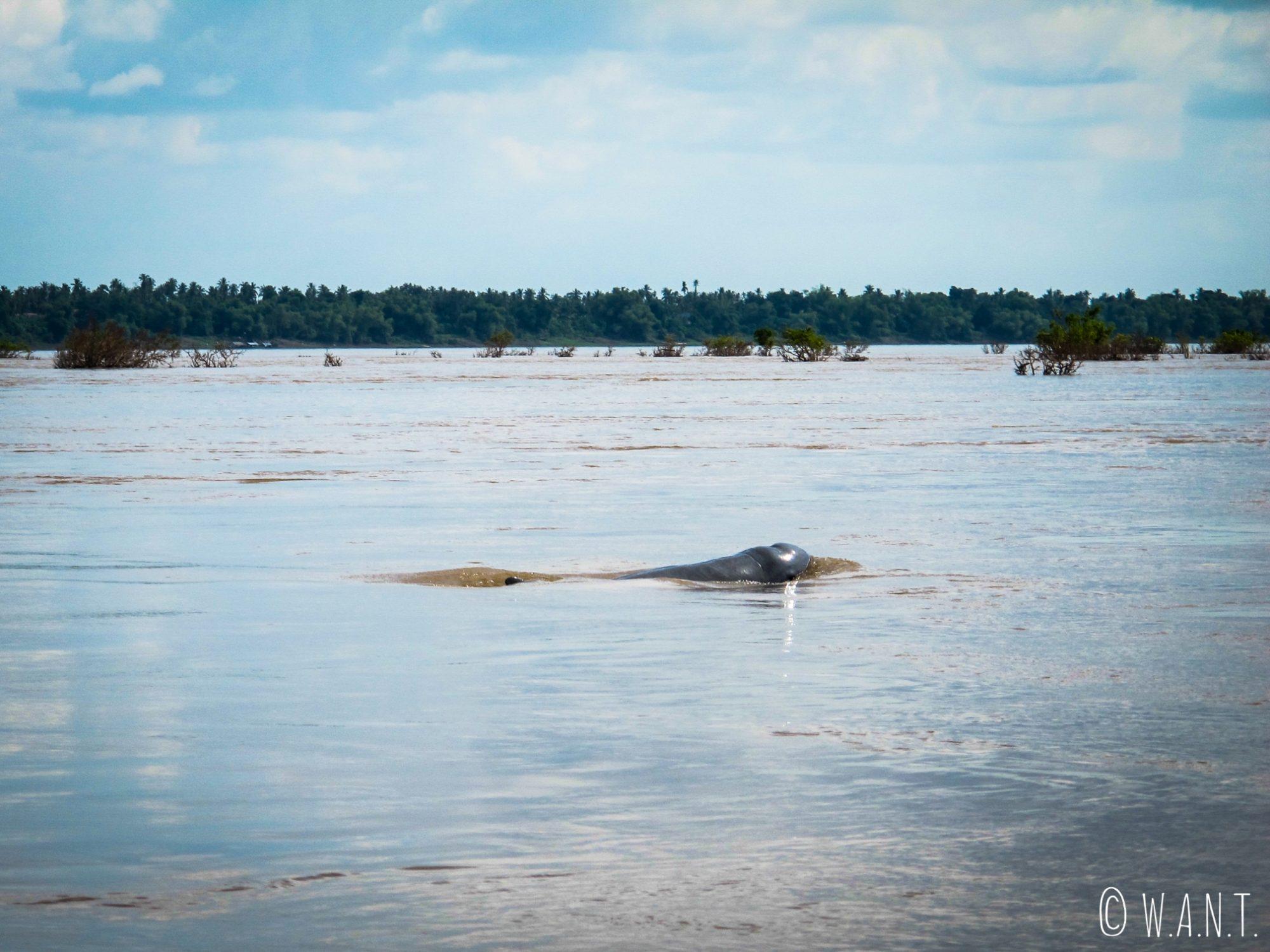 Dauphin de l'Irrawaddy dans le Mékong près de Kratie