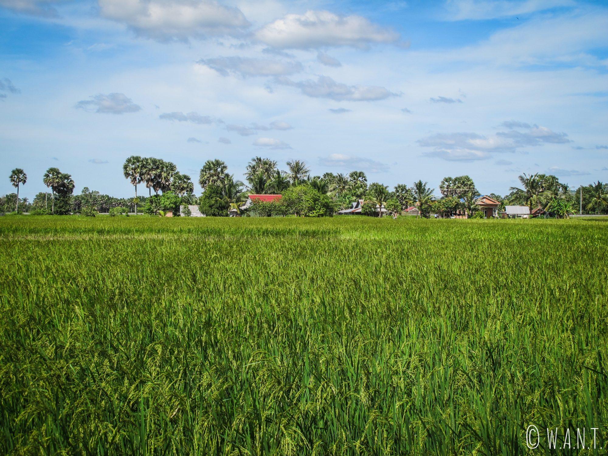 Rizières sur le chemin du Secret Lake près de Kampot