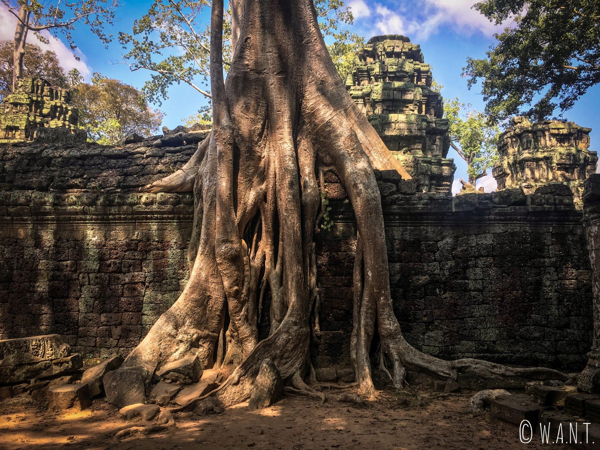 Tetrameles nudiflora dans le temple Ta Phrom à Angkor