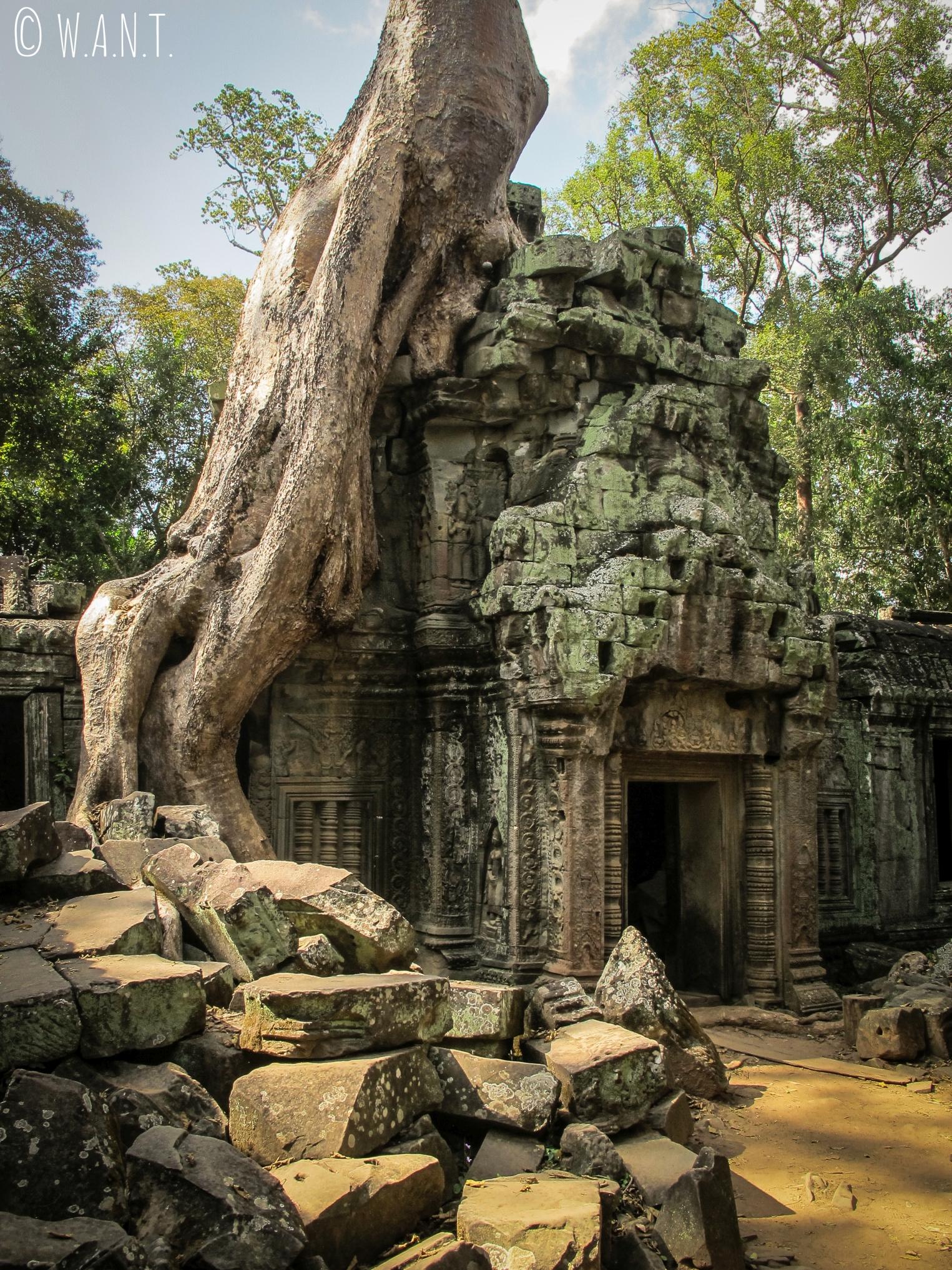Tetrameles nudiflora sur le temple Ta Phrom à Angkor