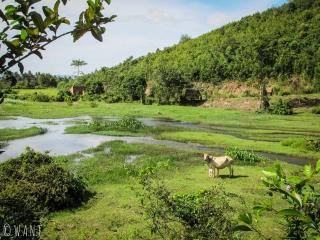 Vache au milieu de la végétation près du Secret Lake aux environs de Kampot