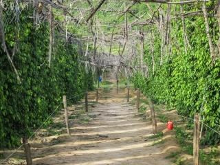 Visite de l'exploitation de poivre de Kampot nommée La Plantation