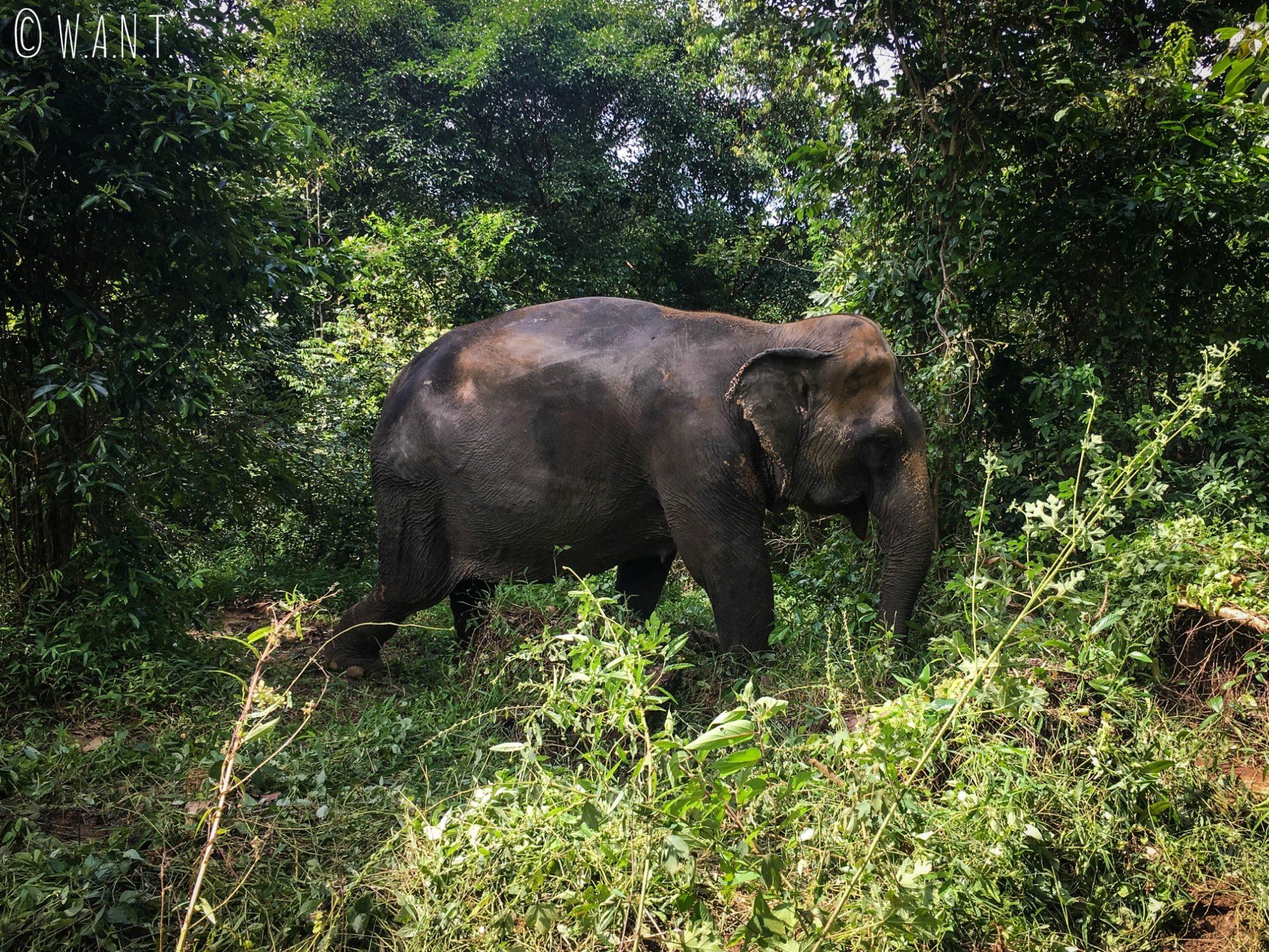 Éléphant sur le chemin d'accès aux cascades de Namuang à Koh Samui