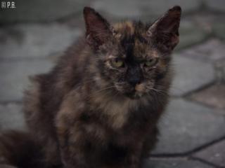Portrait d'un chat au village musulman de Koh Samui