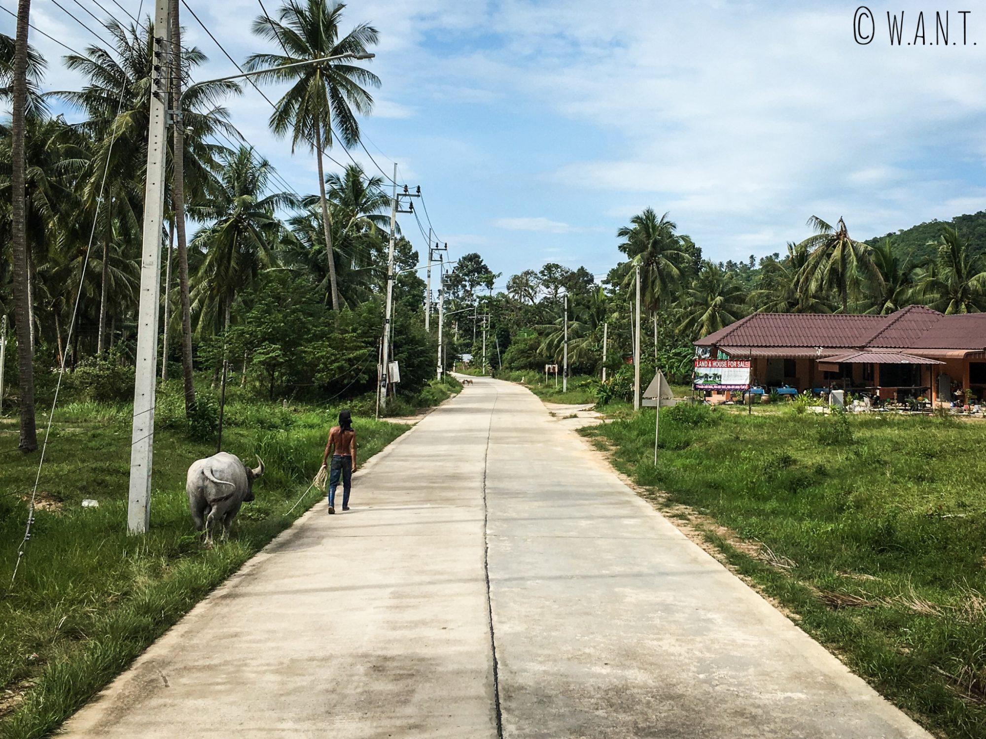 Un homme promène son buffle sur l'île de Koh Samui