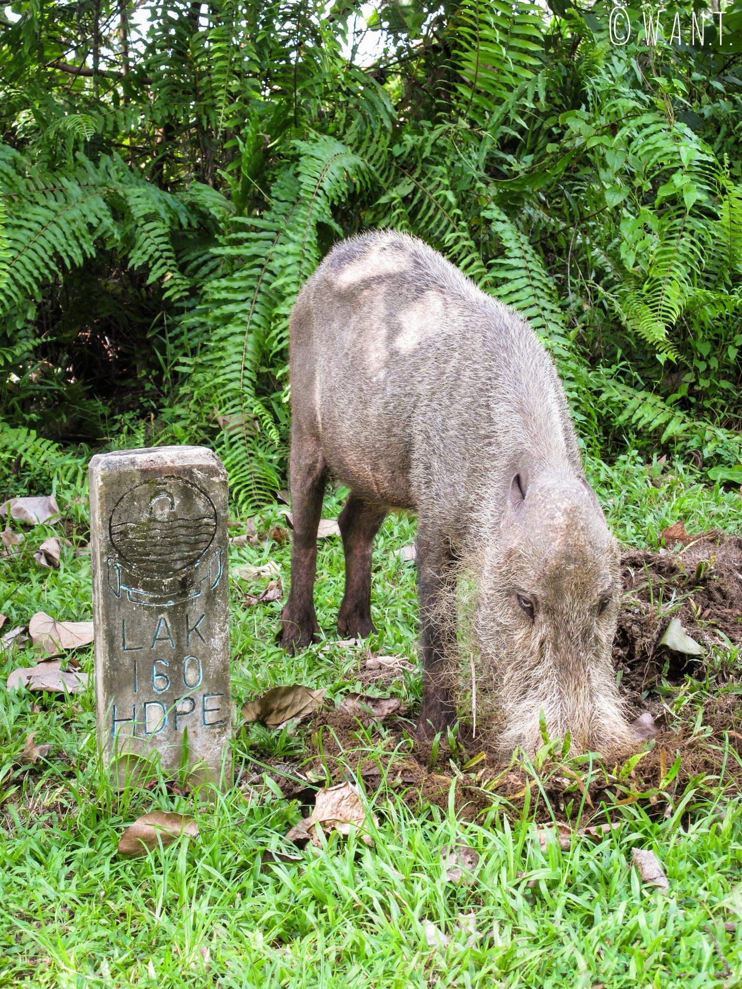 Cochon à barbe du Bako National Park