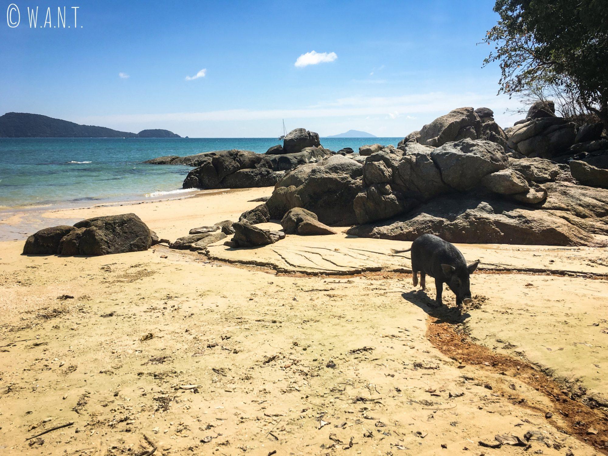 Cochon sauvage sur la plage de Laem Ka Beach à Phuket