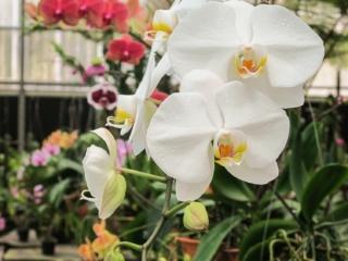 Fleurs d'orchidée blanches à l'Orchid Garden de Kuching