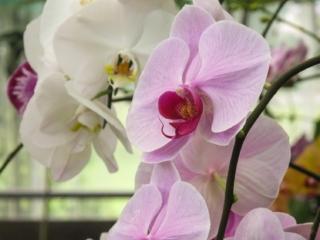 Gros plan sur des fleurs d'orchidée du Orchid Garden de Kuching