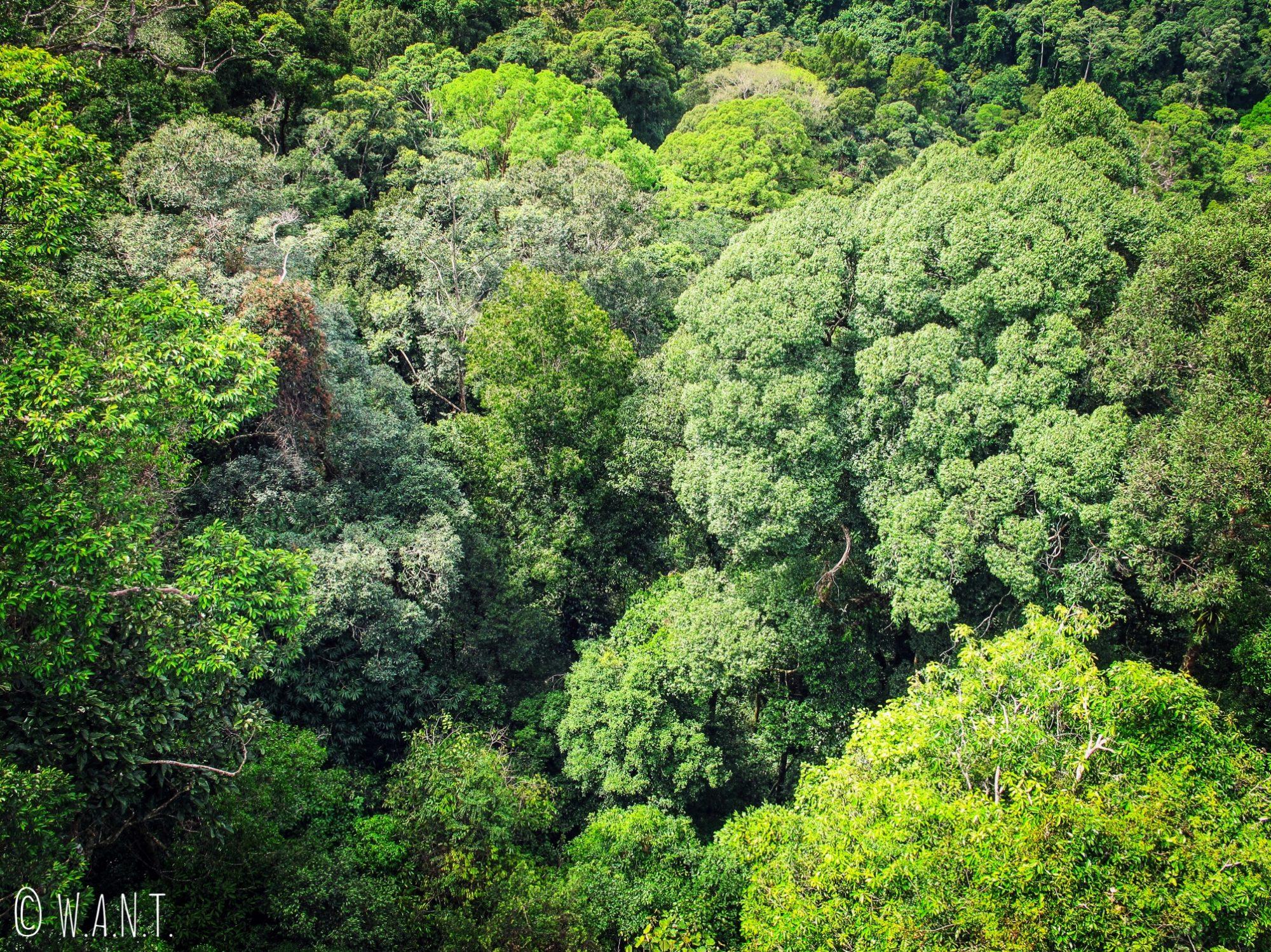 Gros plan sur la canopée du Parc national Ulu Temburong au Brunei
