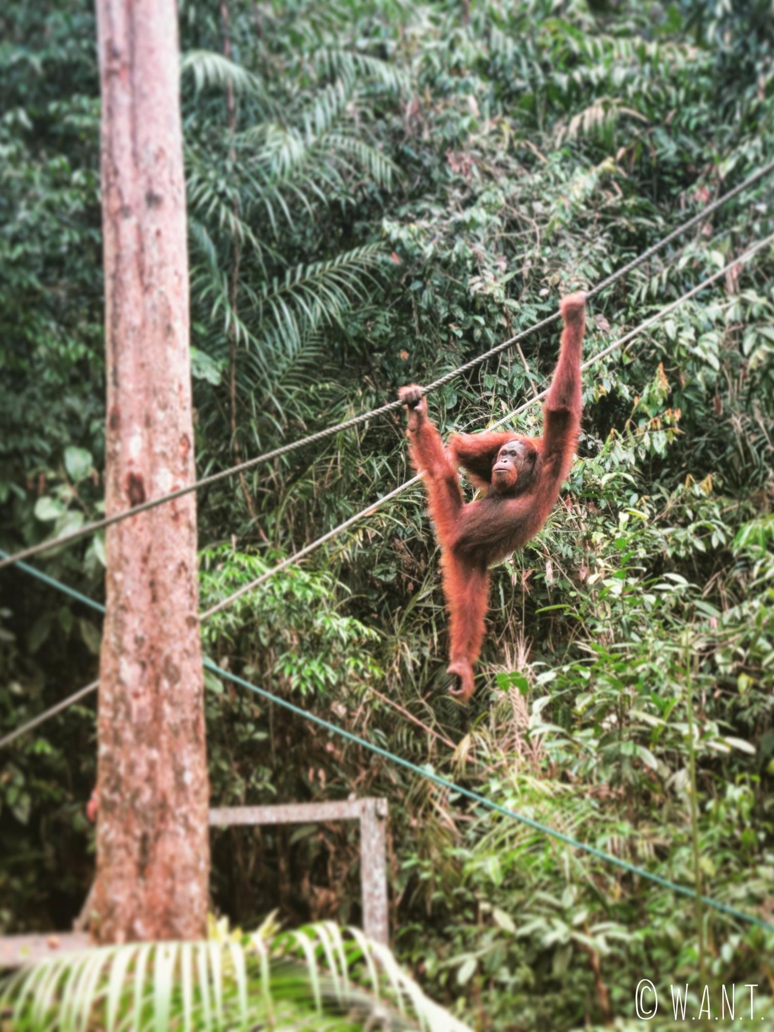 Jeune orang-outan du Semenggoh Nature Reserve