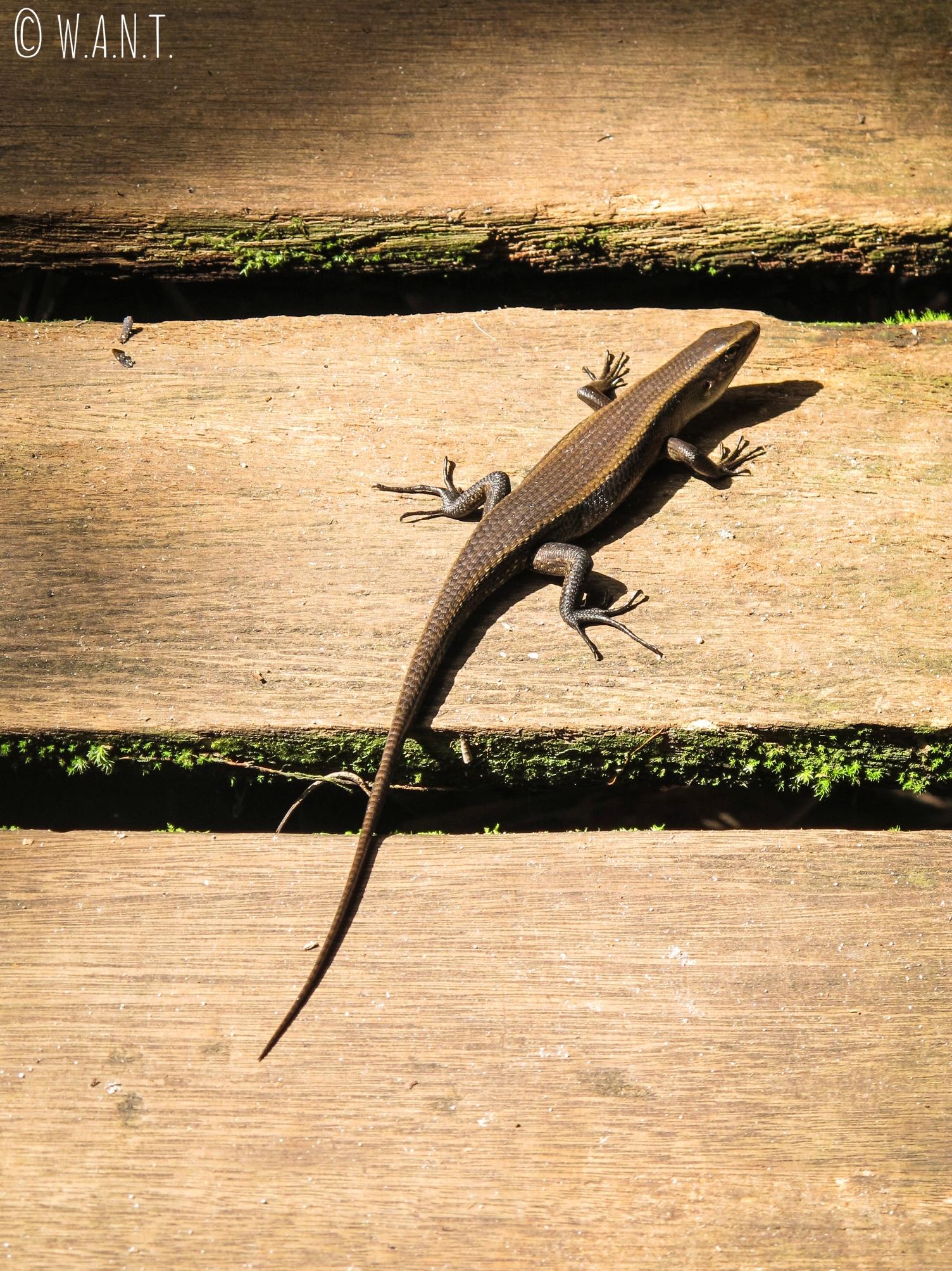 Lézard au Bako National Park