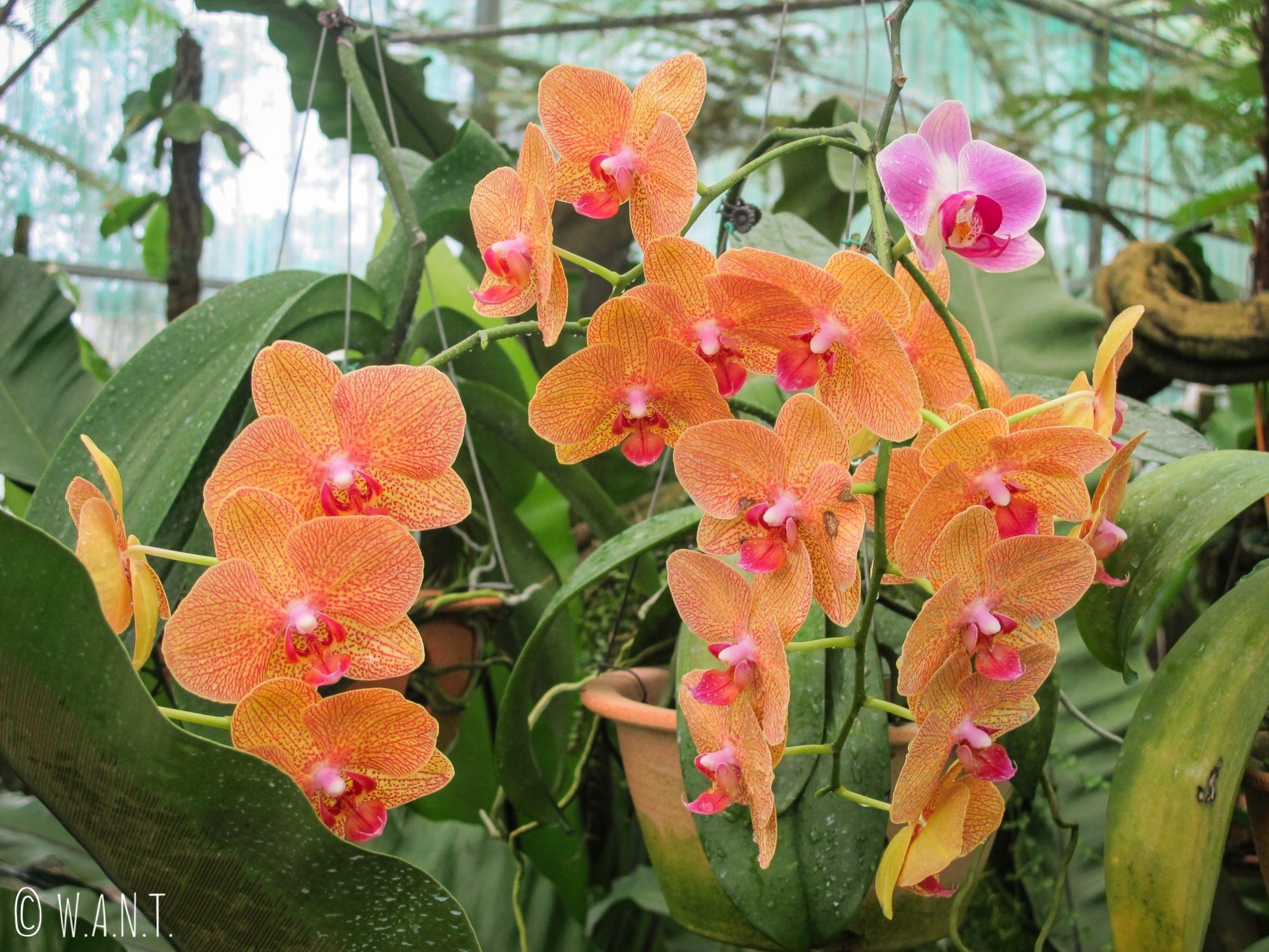 Orchidée orange de l'Orchid Garden de Kuching