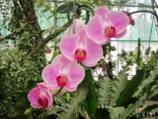 Orchidée violette à l'Orchid Garden de Kuching