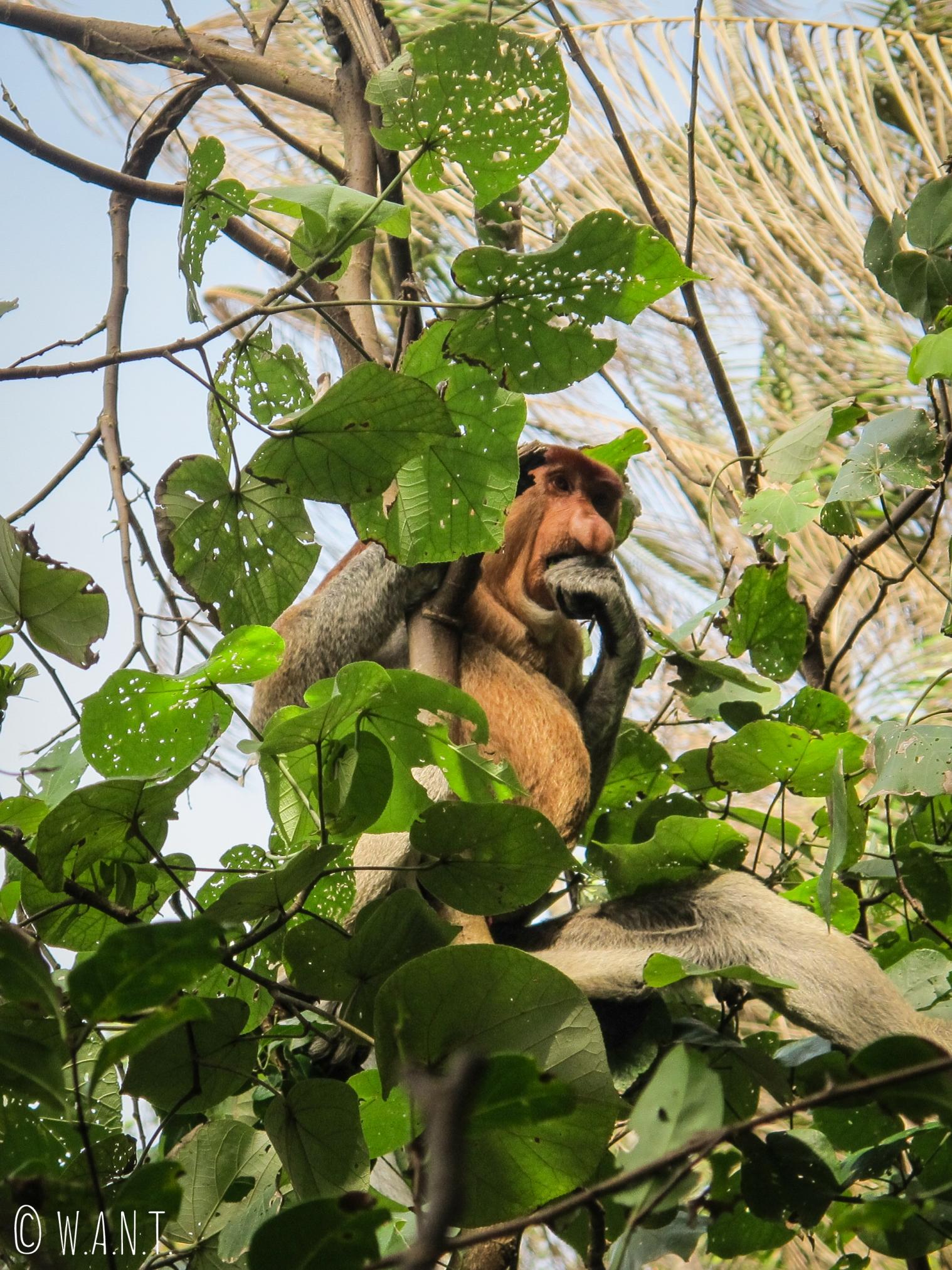 Portrait de l'un des singes nasiques du Bako National Park