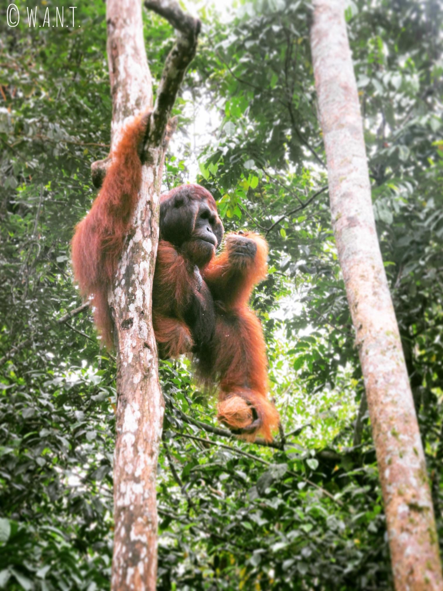 Ricchie, orang-outan du Semenggoh Nature Reserve