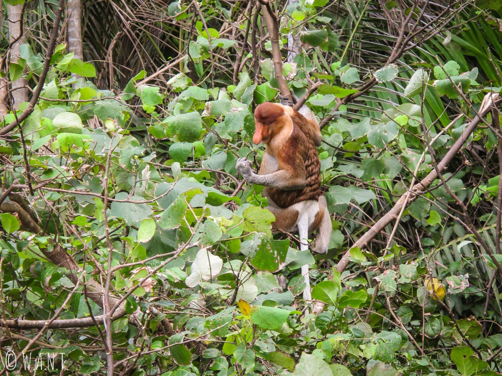 Singe nasique sur le trail numéro 3 Telok Pacu au Bako National Park