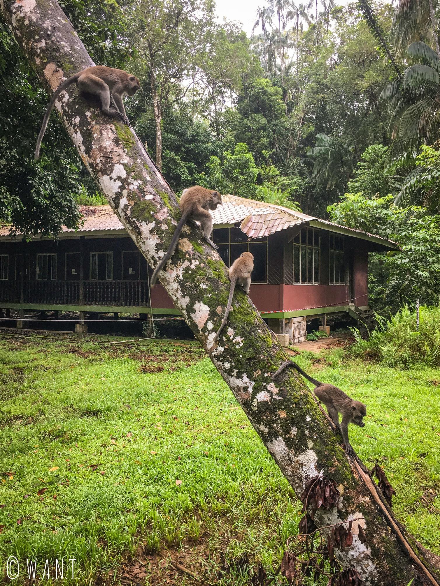 Singes à longue queue devant notre lodge au Bako National Park