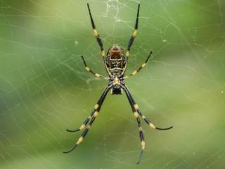 Araignée rencontrée à Manly près de Sydney
