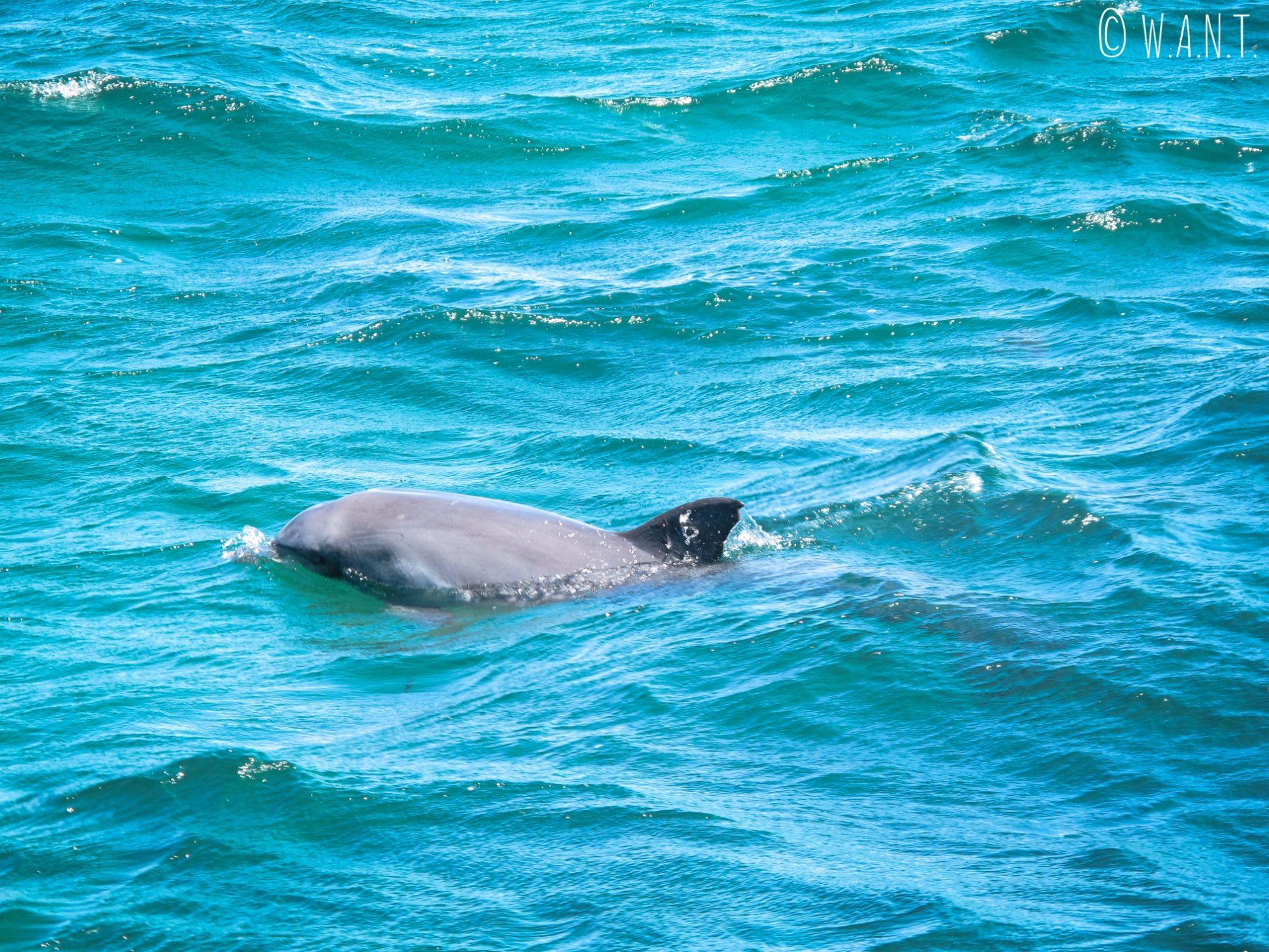 Dauphin aperçu lors de la croisière Dolphin, Penguin & Sea Lion Cruise sur Penguin Island