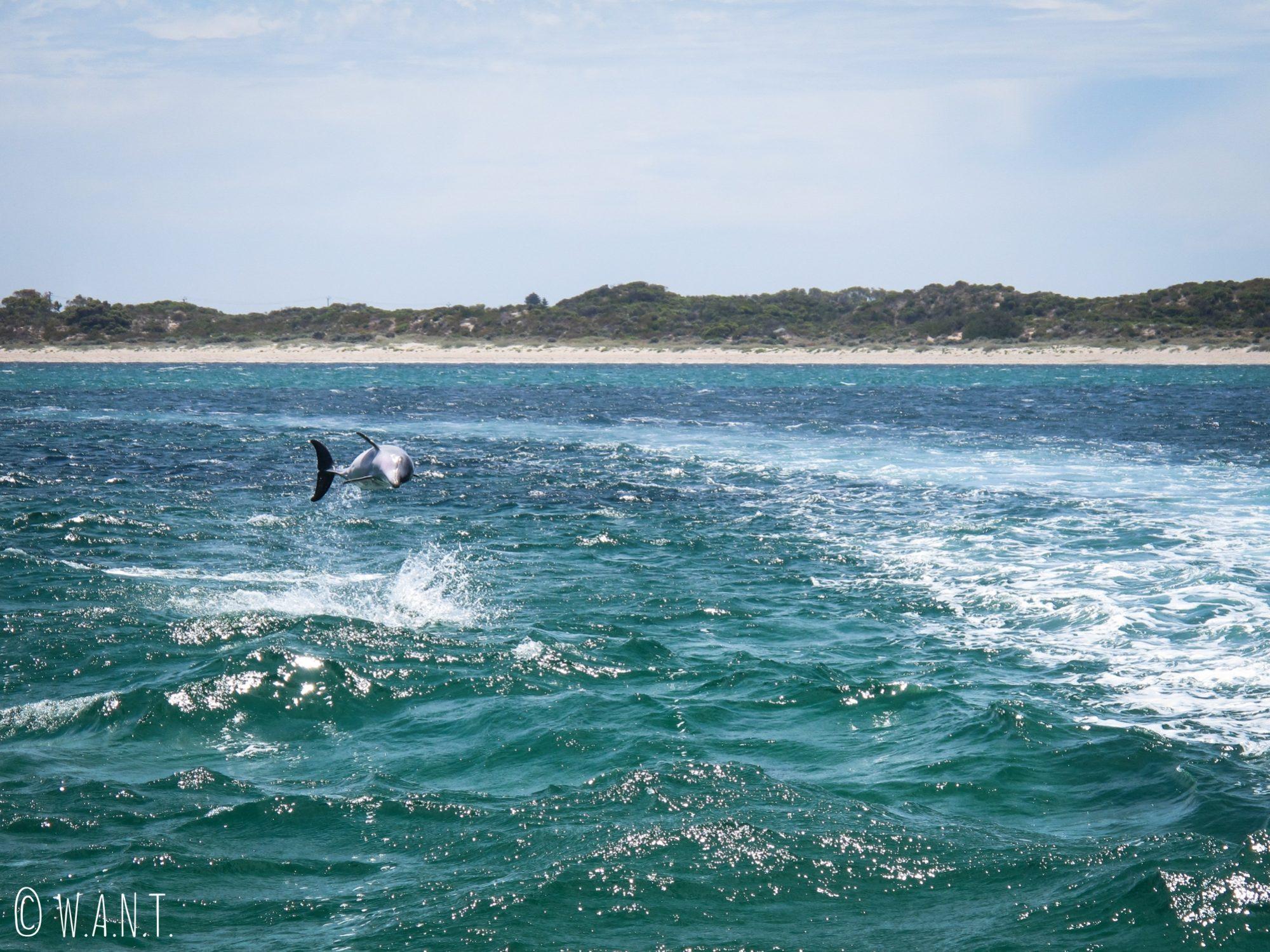 Dauphin qui saute vu sur la croisière Dolphin, Penguin & Sea Lion Cruise sur Penguin Island